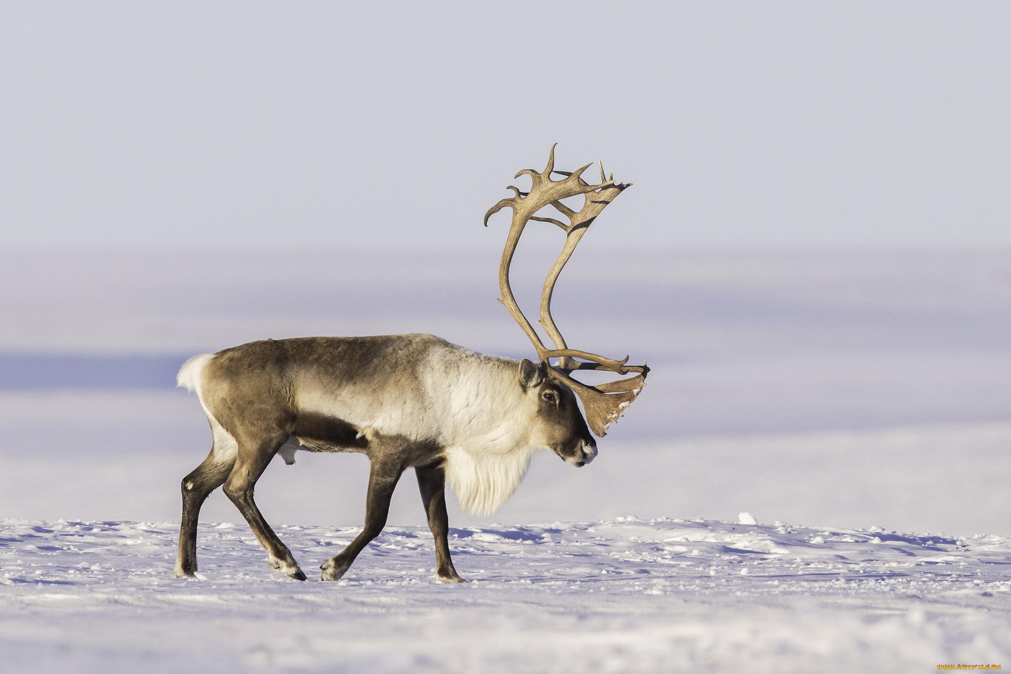 азербайджанские картинки полярного оленя глубокого яркого
